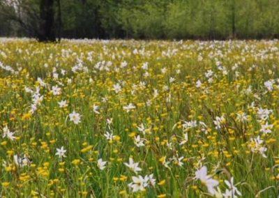 Poiana cu Narcise